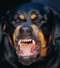 Rottweiler-barking-010